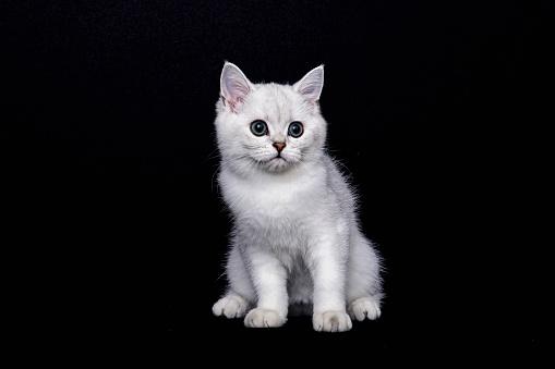 ショートヘア種の猫「British shorthair cat on black background」:スマホ壁紙(6)