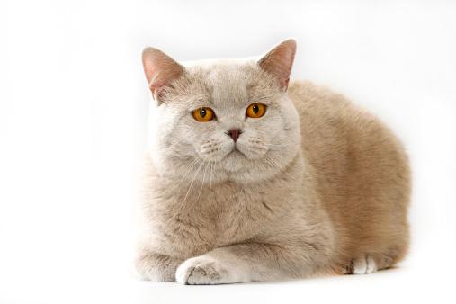 ショートヘア種の猫「British shorthair cat」:スマホ壁紙(11)