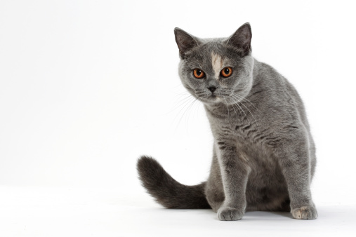 British Shorthair Cat「British shorthair cat」:スマホ壁紙(9)