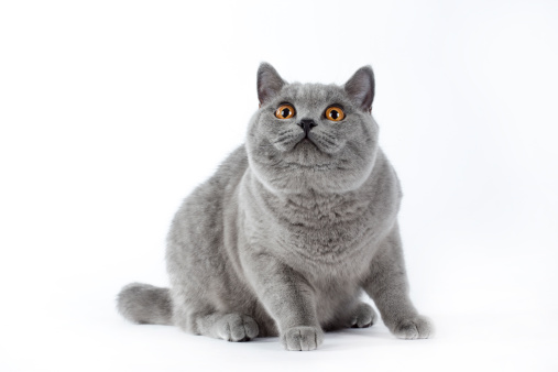 ショートヘア種の猫「British shorthair cat」:スマホ壁紙(4)