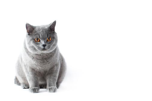 ショートヘア種の猫「British shorthair cat」:スマホ壁紙(17)