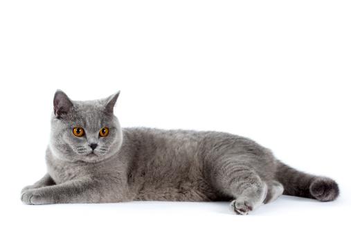 ショートヘア種の猫「British shorthair cat」:スマホ壁紙(18)
