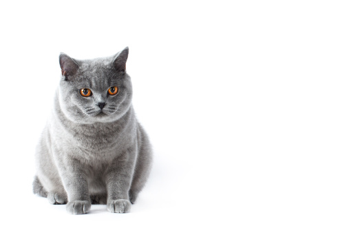 British Shorthair Cat「British shorthair cat」:スマホ壁紙(8)