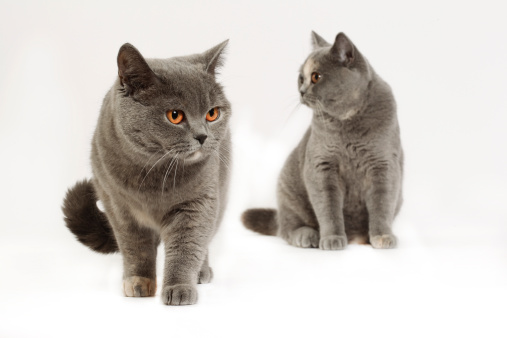 British Shorthair Cat「British shorthair cat」:スマホ壁紙(11)