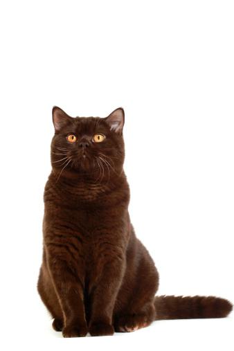 一匹「British shorthair cat」:スマホ壁紙(6)
