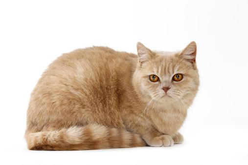 ショートヘア種の猫「British shorthair cat」:スマホ壁紙(6)