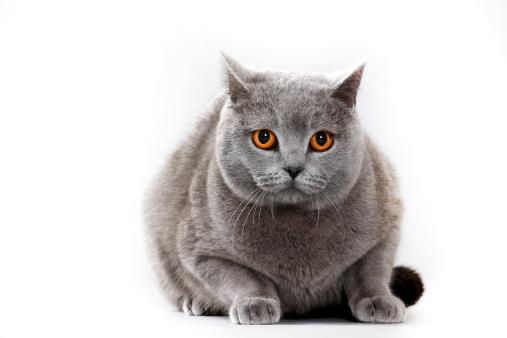 ショートヘア種の猫「British shorthair cat」:スマホ壁紙(12)