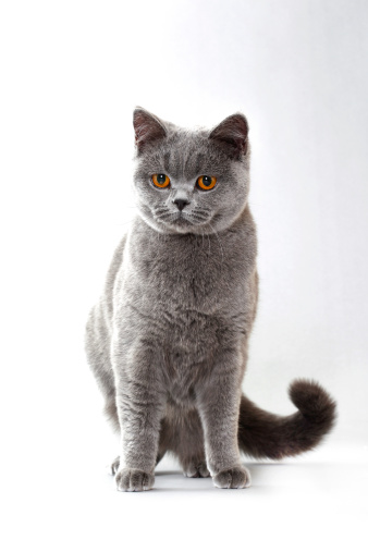 British Shorthair Cat「British shorthair cat」:スマホ壁紙(13)