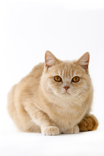 British Shorthair Cat「British shorthair cat」:スマホ壁紙(16)