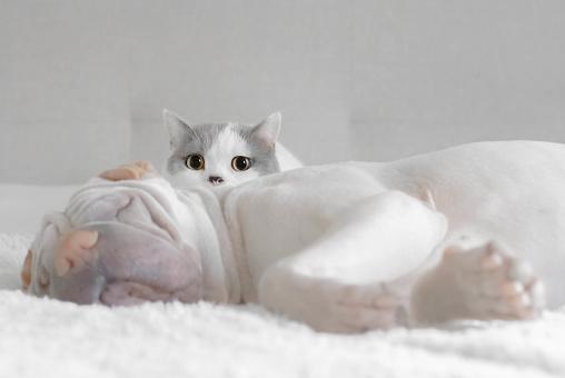British Shorthair Cat「British shorthair cat sitting by a sleeping shar pei dog」:スマホ壁紙(18)