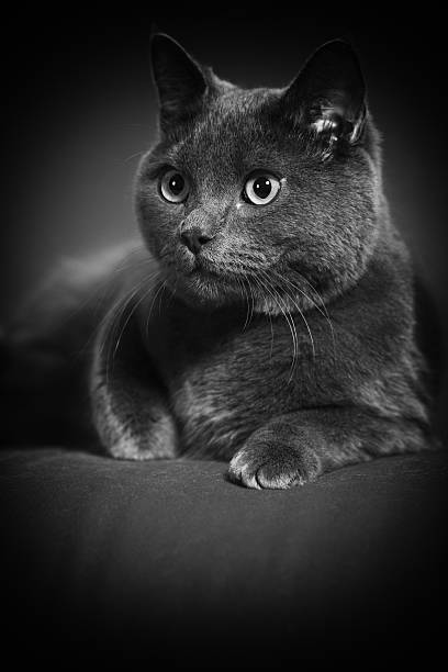 British Shorthair Cat Portrait:スマホ壁紙(壁紙.com)