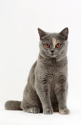 British Shorthair Cat「British shorthair」:スマホ壁紙(1)
