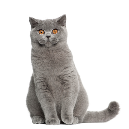 Shorthair Cat「British Shorthair (5 months old)」:スマホ壁紙(2)