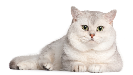 ショートヘア種の猫「British Shorthair (2 years old)」:スマホ壁紙(1)