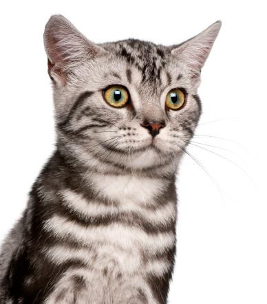ショートヘア種の猫「British Shorthair kitten (4 months old)」:スマホ壁紙(1)