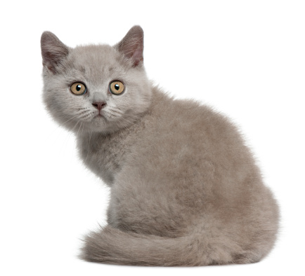 Kitten「British Shorthair Kitten」:スマホ壁紙(0)