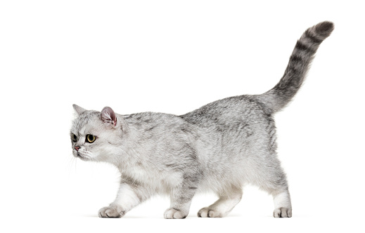 British Shorthair Cat「British Shorthair, 1 year old, in front of white background」:スマホ壁紙(18)