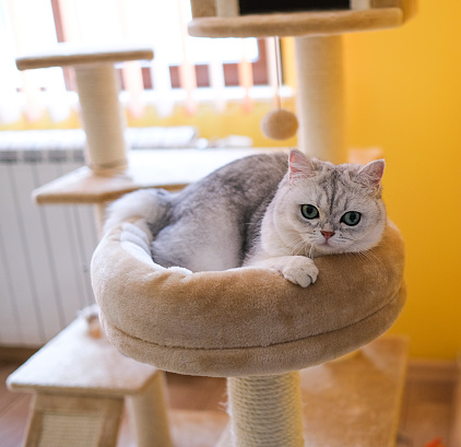 Scratching Post「British shorthaired kitten lying in pet bed on a climbing tree」:スマホ壁紙(5)