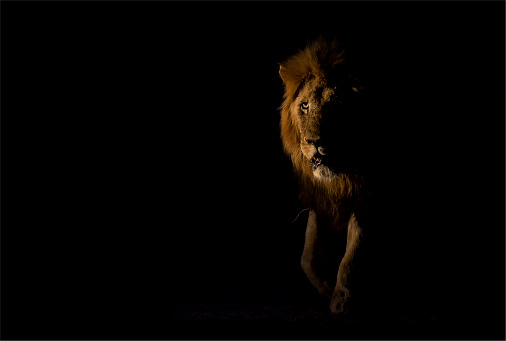 Approaching「Male lion walking in the dark looking for something to hunt - Sabie Sands Nature Reserve South Africa」:スマホ壁紙(15)