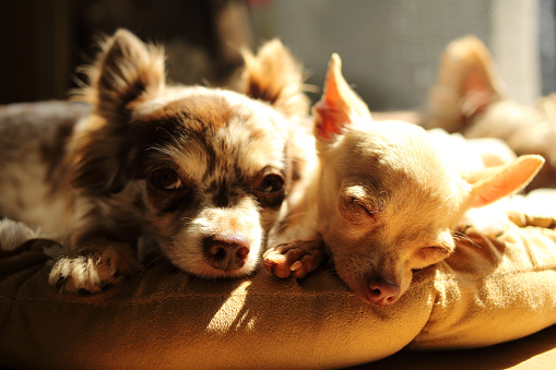 Resting「Two Chihuahua dogs lying in the sun」:スマホ壁紙(3)
