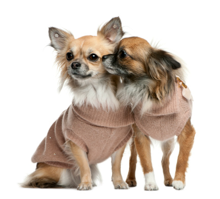Sweater「Two Chihuahuas dressed (2 years old)」:スマホ壁紙(18)
