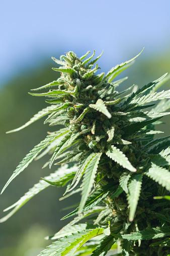 花「Cannabis plant with blossoming flowers」:スマホ壁紙(12)