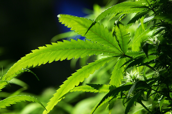Growth「Ban Introduced On Smoking Marijuana In Public Areas」:写真・画像(19)[壁紙.com]