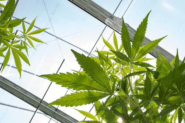 Drew Angerer「Marijuana Grow Near Albany For State's Legal Medical Marijuana Dispensaries」:写真・画像(3)[壁紙.com]