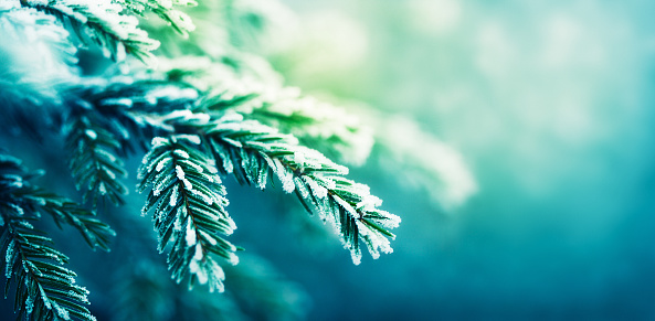 Pine Tree「frost-covered spruce tree branch」:スマホ壁紙(1)