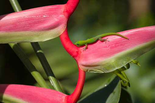 Heliconia「Heliconia in Hawaii with green Madagascar gecko.」:スマホ壁紙(10)
