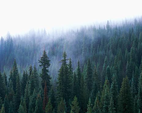 Uncompahgre National Forest「Fog over Spruce Trees」:スマホ壁紙(11)