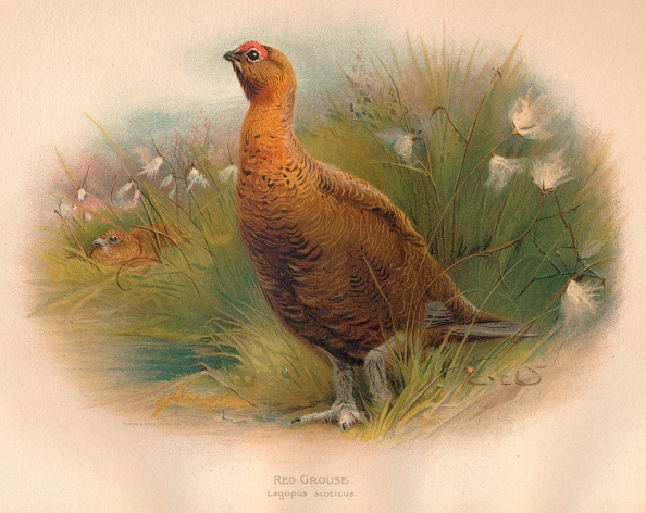 Water's Edge「'Red Grouse (Lagopus scoticus)', 1900, (1900)」:写真・画像(13)[壁紙.com]
