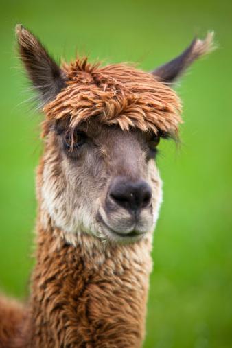 Alpaca「happy lama」:スマホ壁紙(18)