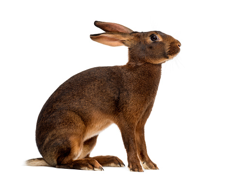 Belgium「Belgian hare in front of a white background」:スマホ壁紙(15)