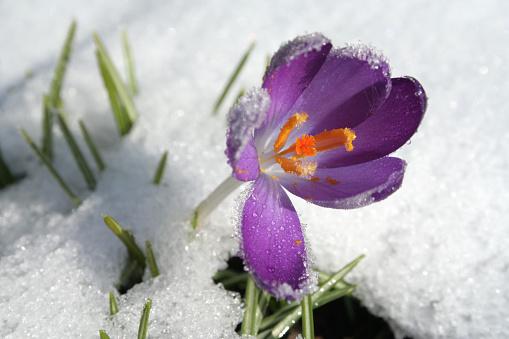 Crocus「crocus in the snow」:スマホ壁紙(8)