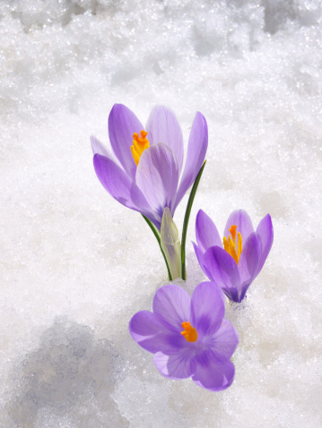 Crocus「Crocus in the snow」:スマホ壁紙(12)
