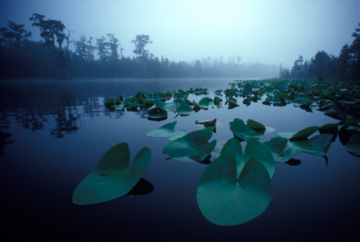 Water Lily「Lily pads dot a pond shrouded in early  morning mist.」:スマホ壁紙(2)
