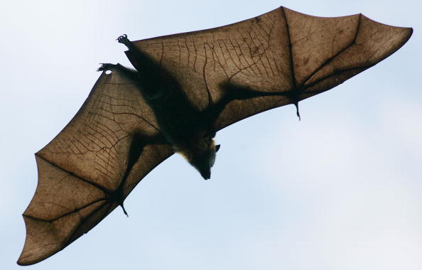 動物「Grey-Headed Flying Foxes To Be Relocated From Royal Botanic Gardens」:写真・画像(18)[壁紙.com]