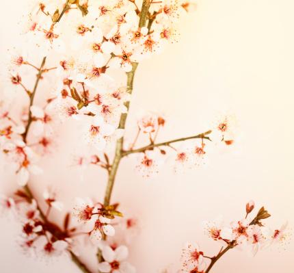 Cherry Blossom「アンティーク仕上げの桜の花」:スマホ壁紙(15)