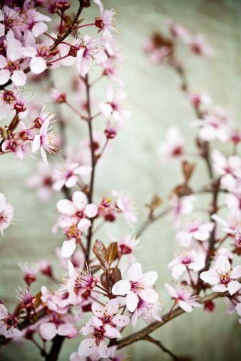 梅の花「アンティーク仕上げの桜の花」:スマホ壁紙(19)