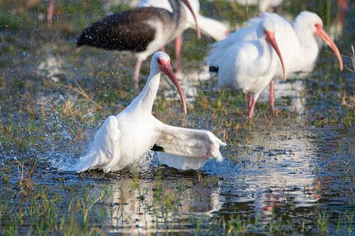 Ocala National Forest「Ibis bathing in a pond in Ocala, Florida」:スマホ壁紙(7)