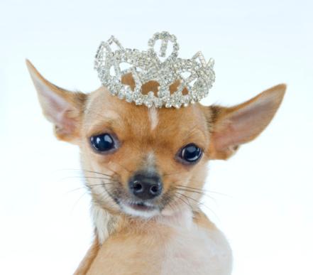 Crown - Headwear「Celebrity Chihuahua Portrait」:スマホ壁紙(8)
