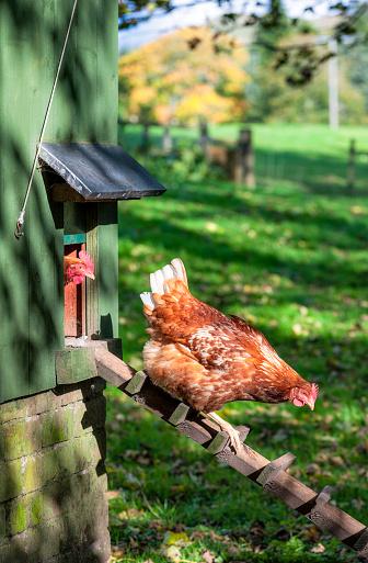 Rhode Island Red Chicken「Hen leaving the henhouse to forage」:スマホ壁紙(11)
