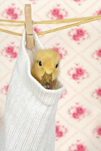 動物「Baby duck hanging in a sock」:スマホ壁紙(18)