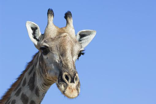 Giraffe「Giraffe, Moremi Game Reserve, Okavango, Botswana」:スマホ壁紙(2)