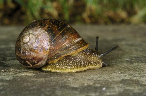 snails「edible or roman snail」:スマホ壁紙(17)