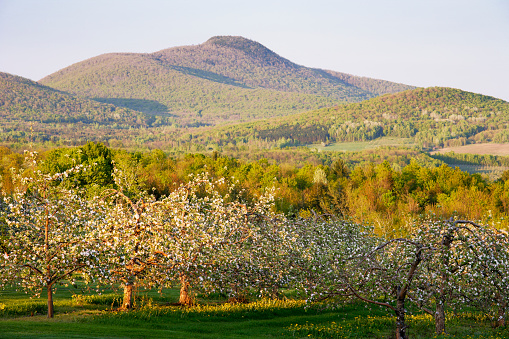Eastern Townships「View Of Apple Orchard In Bloom And Pinacle Mountain At Sunset, Eastern Townships, Quebec, Canada.」:スマホ壁紙(10)