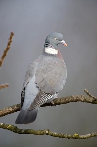Arboreal Animal「Wood-Pigeon (Columba palumbus) perched on branch, Norfolk, UK」:スマホ壁紙(3)