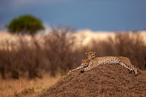 African Cheetah「A scene of two adult cheetahs (Acinonyx jubatus) resting on a mound at plain」:スマホ壁紙(9)