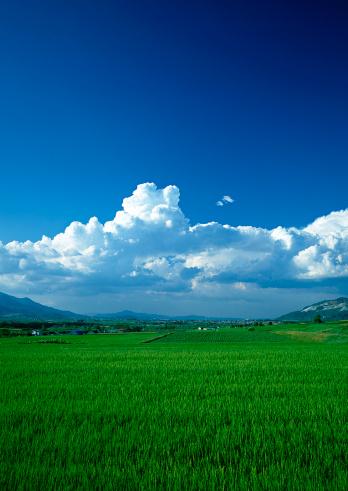夏「Rice Field」:スマホ壁紙(19)